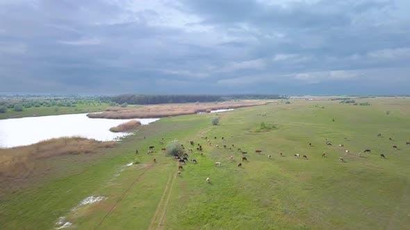 Herd of Cows in the Meadow