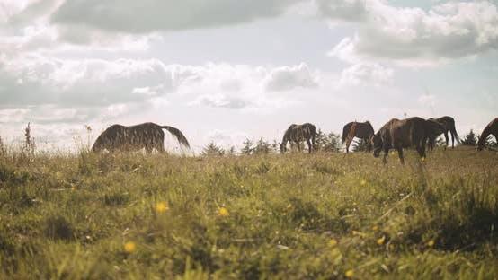 Thumbnail for Herd Of Wildhorses Grazing In Meadow