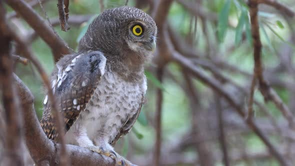 Pearl-spotted owlet sitting in a tree