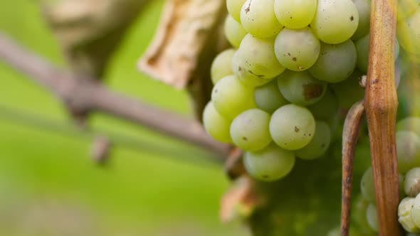 Thumbnail for Bunch of Grapes on Vineyard at Vine Production Farm