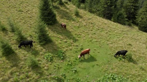 Cows on Mountains Pasture Aerial View