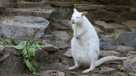 dancing white albino kangaroo, Red necked Wallaby