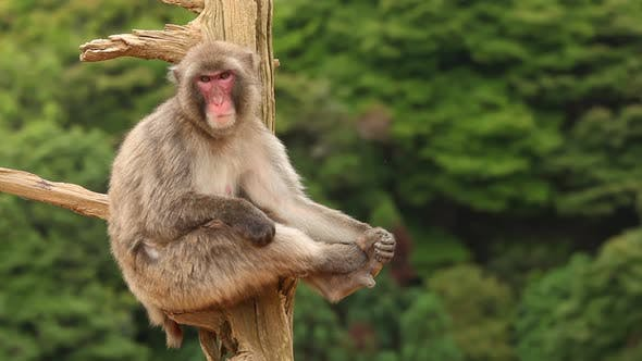 Cover Image for Japanese Macaque In Nature