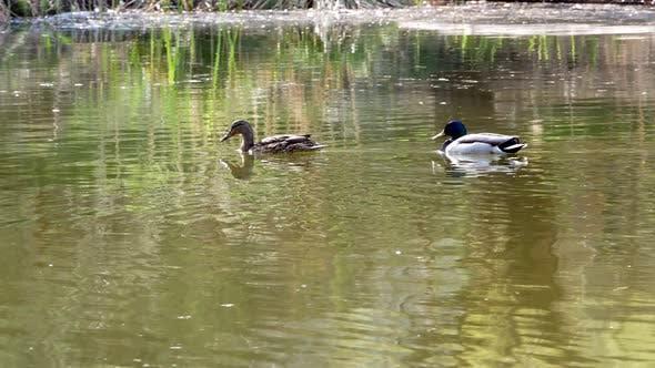 Thumbnail for Ducks Swim on Lake Close Up