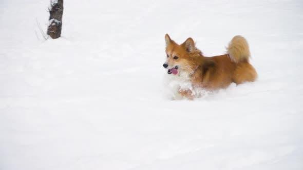Corgi Running At The Snow