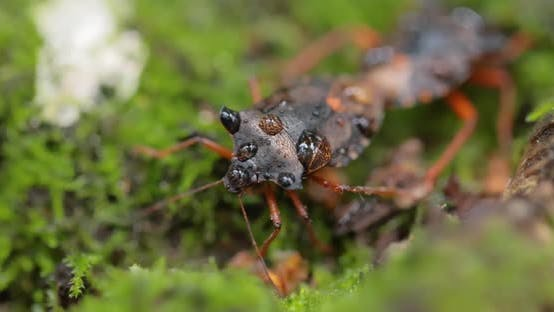 Forest Bug or Red-legged Shieldbug (Pentatoma Rufipes) Is a Species of Shield Bug