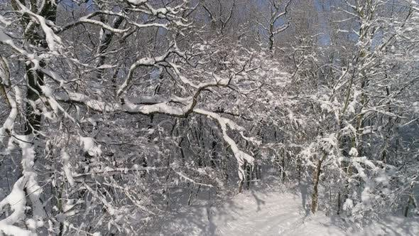 Thumbnail for Flying Up in Winter Forest Covered with Snow