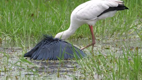 Yellow-billed stork and a black heron hunting for fish