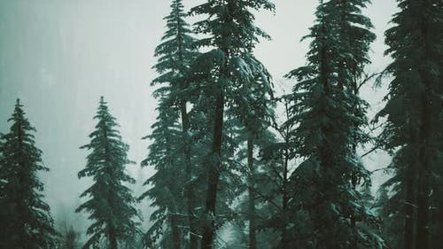 Winter Snow Covered Cone Trees on Mountainside