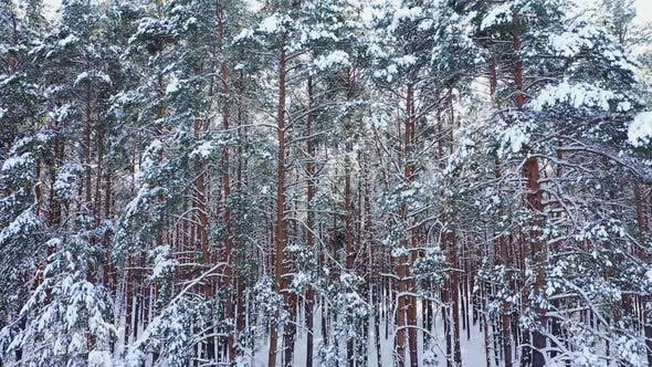 Winter Forest at the Sunny Day