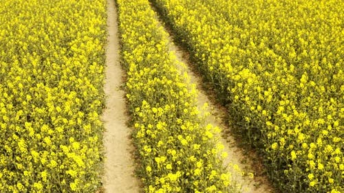 Canola Field with Parallel Pathways