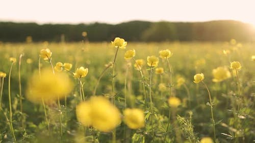 Yellow Flowers Sway in the Wind