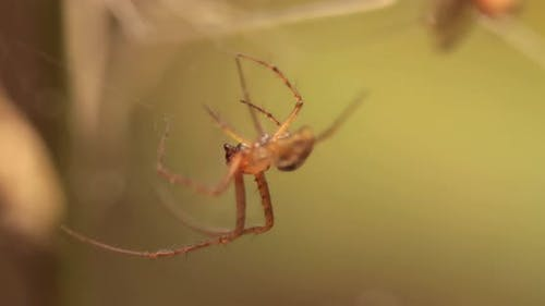 Close Up Macro Shot of a Spider Grabbed the Victim and Wrapped It in a Web.