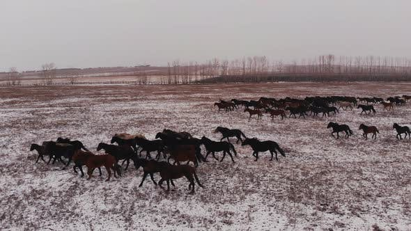 Thumbnail for A Herd of Wild Horses Running on a Snow-covered Field.