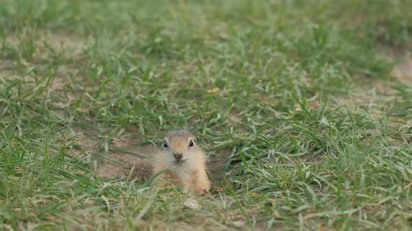 Thumbnail for Close-up Gopher Crawls Out of His Hole
