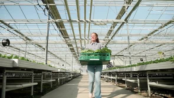 Cover Image for Farm Worker with Salad Box in a Modern Greenhouse