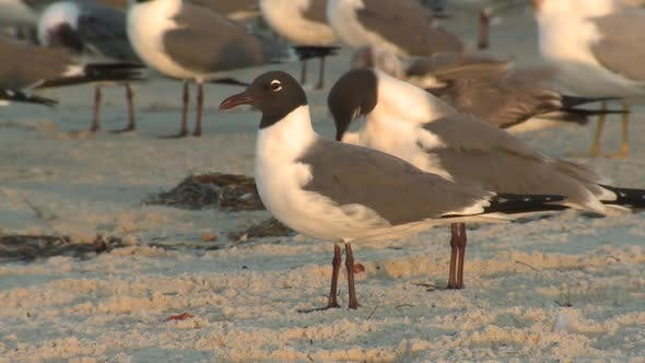 Thumbnail for Laughing Gull Adult Several Grooming Cleaning Preening in Winter Dawn Morning