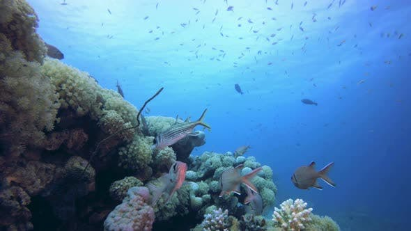 Cover Image for Reef Coral Scene