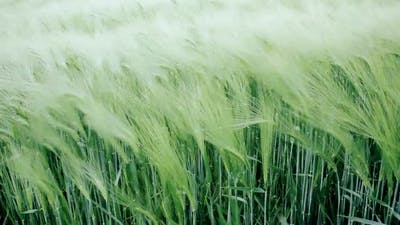 Green wheat swaying in the breeze