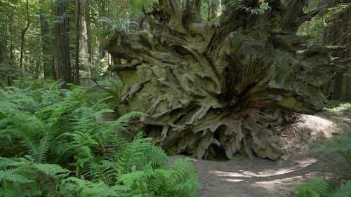 Fallen Redwood Root