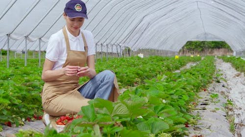 Woman in Cap and Apron Picking Fresh Ripe Strawberries