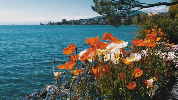 Thumbnail for Colorful Poppies Blooming Against Lake Geneva and Mountain Hills Switzerland, Montreux.