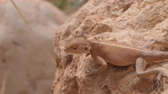 Desert Agama looking around on a rock