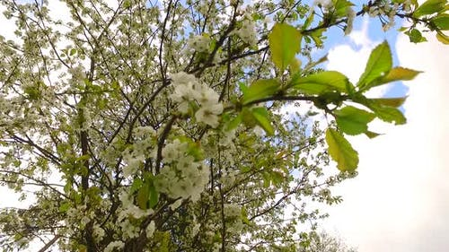 White Petals of Cherry in the Light Wind