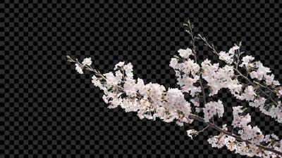 Sakura Branches With Alpha