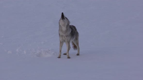 Thumbnail for Coyote Adult Lone Calling Howling Barking Singing in Yellowstone National Park Wyoming
