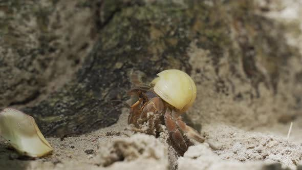 Crustacean Walking Slowly in Sandy Shores in Thailand Surrounded By Rocks