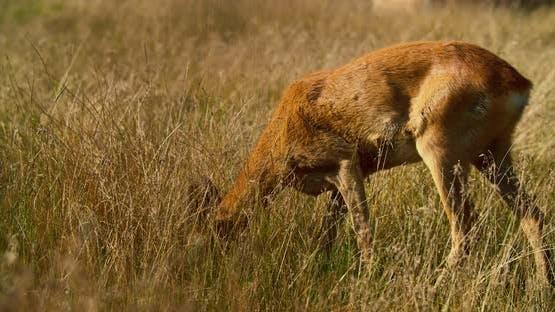 Wild roe deer graze in the tall grass