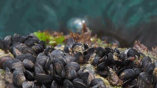 Mediterranean Mussel or Mytilus Galloprovincialis on Rocks Above Black Sea