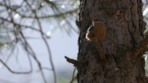 Nuthatch bird in Sierras de Cazorla