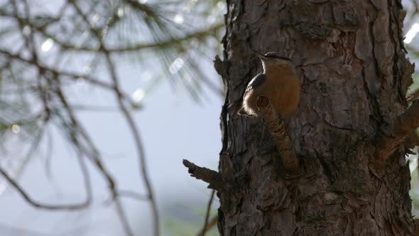 Thumbnail for Nuthatch bird in Sierras de Cazorla