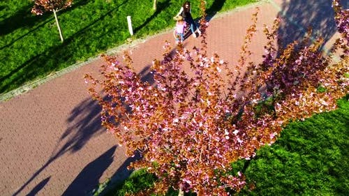 Aerial drone view of a flying over the trees of flowering Sakura