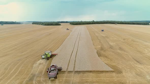 Thumbnail for Agricultural Combines Harvesting Wheat On The Big Field.