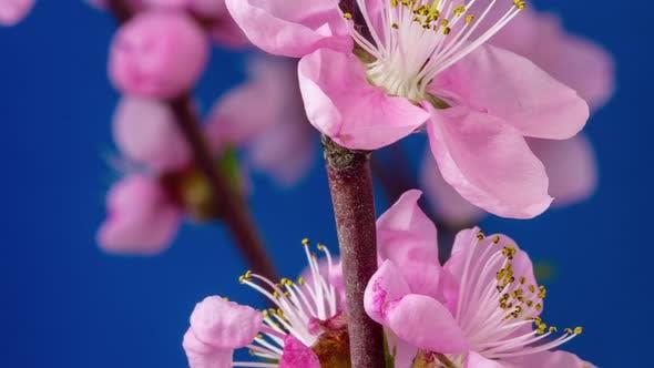 Thumbnail for Peach Blossom Timelapse
