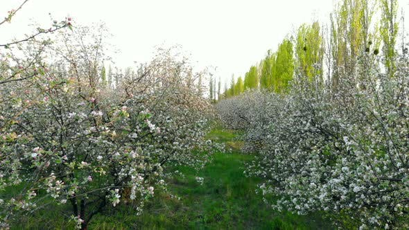 Thumbnail for Flying Between Branches of Flowering Trees in Apple Orchard