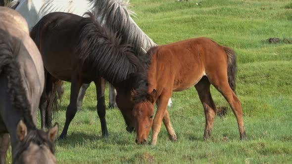 Horses with Foal Grazing in Steppe