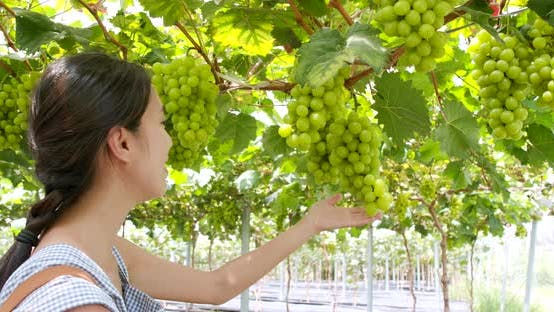 Thumbnail for Woman picking green grape in the farm