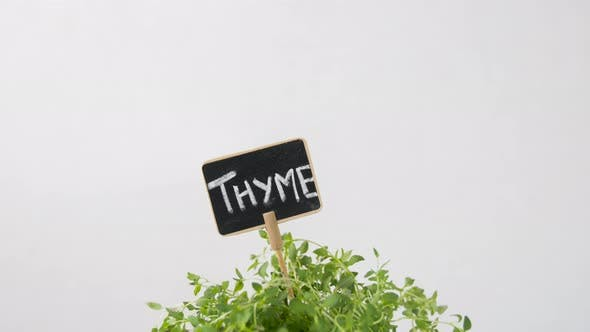 Thumbnail for Green Thyme Herb with Name Plate in Pot on Table