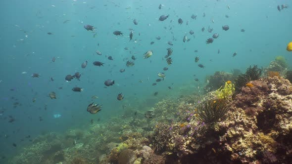 Cover Image for Coral Reef with Fish Underwater. Camiguin, Philippines
