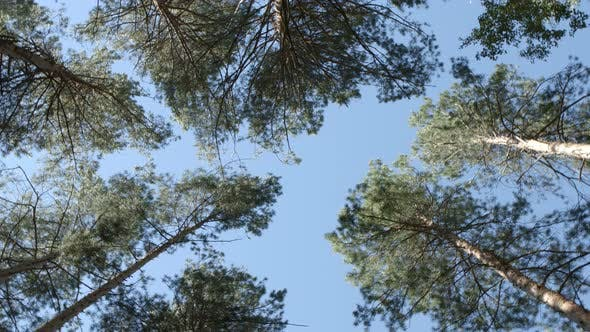 Thumbnail for Bottom View: Rotation Between Pines In A Forest