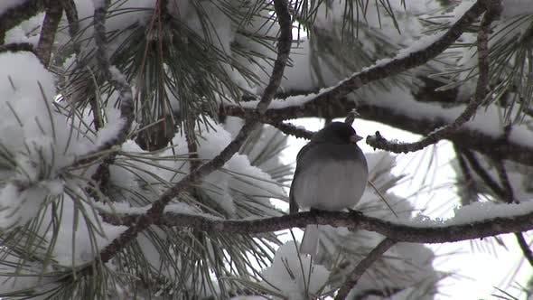 Junco Adult Lone Resting in Winter Dark-eyed Slate-colored in South Dakota