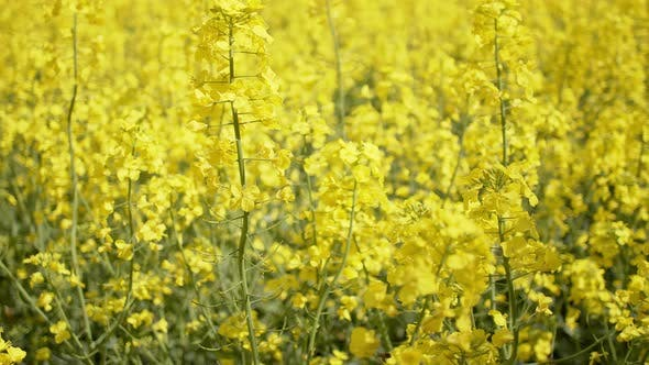 Thumbnail for Blooming Rapeseed or Canola Field. Close Up View on Rape Plantation. Alternative Bio Fuel and Oil
