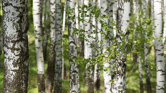 Thumbnail for Spring Birchwood