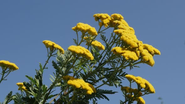 Thumbnail for Perennial  Tanacetum vulgare and blue sky 4K footage