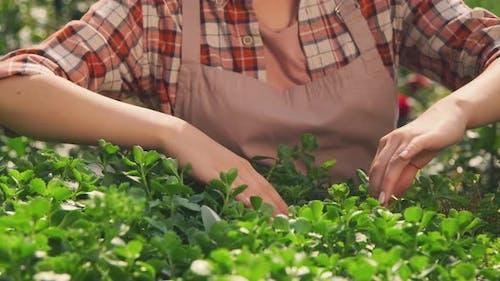 Female Gardener Examining Plant Leaves
