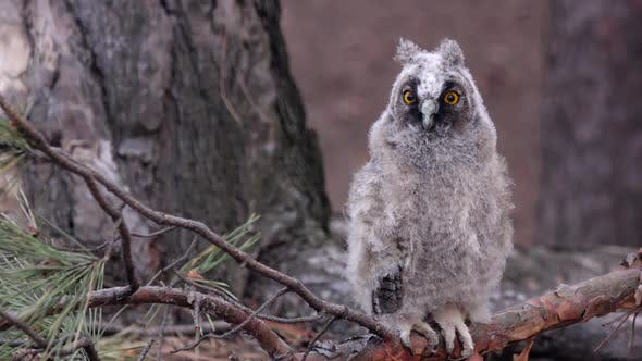 Thumbnail for Owl Sits on a Branch of a Pine Tree She Looks Into the Distance Looking for Food